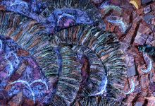 Sea Mantle Acmaeidae, detail